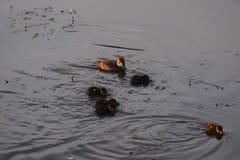 Hembra y anadones del pato de Rudy foto de archivo