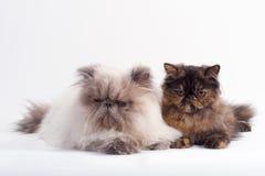 Hembra y casta masculina del gato persa Imagenes de archivo