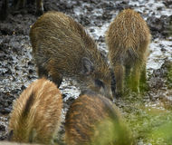 Hembra y cochinillos salvajes del cerdo en el fango Fotografía de archivo libre de regalías