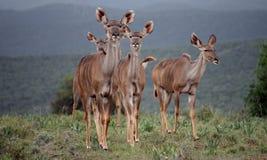 Hembras de Kudu Fotografía de archivo libre de regalías