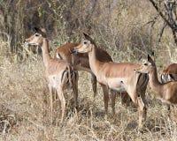 Hembras del impala en alarma Imagenes de archivo