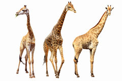 Hembras y varones de las jirafas Fotos de archivo libres de regalías