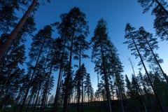 Hemel in het Bos van de Pijnboom Royalty-vrije Stock Fotografie