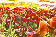 Hemer Sauerland, norr Rhen Westphalia, Tyskland - Maj 20 2011: Många färgrika blommor i röda och apelsinfärger Arkivfoton