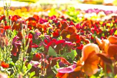 Hemer, Sauerland, North Rhine-$l*Westphalia, Γερμανία - 20 Μαΐου 2011: Πολλά ζωηρόχρωμα λουλούδια στα κόκκινα και πορτοκαλιά χρώμ Στοκ Φωτογραφίες