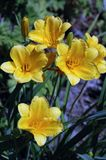 Hemerocallis « Stella de Oro » Photo stock