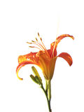 Hemerocallis Royalty Free Stock Photo