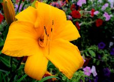 Hemerocallis Obraz Stock