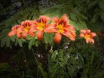 Hemerocallis Στοκ φωτογραφία με δικαίωμα ελεύθερης χρήσης
