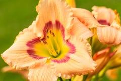 Hemerocallis Imagem de Stock