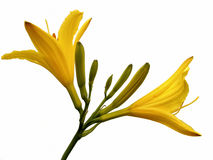 Hemerocallis Stock Photo