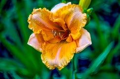 Hemerocallis Fotografia de Stock