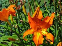 Hemerocallis alaranjado na flor imagem de stock
