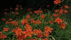 Hemerocallis alaranjados em um dia de verão video estoque