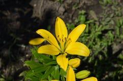 Hemerocallis amarelos em um close-up verde do fundo imagens de stock