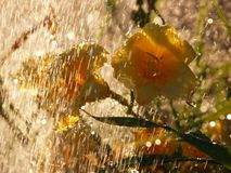 Hemerocallis amarelos na chuva Imagens de Stock Royalty Free