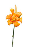 Hemerocallis Apricot Beauty (fulva kwanso) Royalty Free Stock Photos