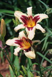 Hemerocallis bicolores na flor completa em um dia de verão bonito Imagem de Stock