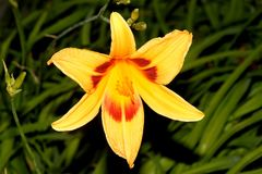 Hemerocallis `Bonanza`, Bonanza Daylily. Perennial tuft forming herb with linear leaves and canary-yellow flowers with deep red throats, all-time favorite bi Stock Photo