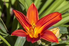 Hemerocallis `Buzz Bomb`. A spring flowering plant commonly knowm as daylily stock images