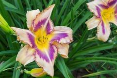 Hemerocallis coloridos (Hemerocallis) Imagens de Stock Royalty Free