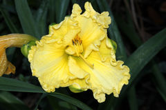 Hemerocallis cream flowers, Daylily Stock Photos