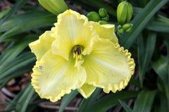 Hemerocallis cream flowers, Daylily Royalty Free Stock Image