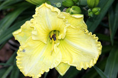 Hemerocallis  'Lemon Custard Classic', Daylily. Hemerocallis  'Lemon Custard Classic', Daylily, cultivar with large lemon yellow Stock Photos