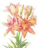 Hemerocallis, day-lily Royalty Free Stock Images