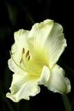 Hemerocallis - Daylily amarillo de las devoluciones felices Imagen de archivo libre de regalías
