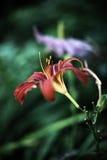 Hemerocallis - Daylily - Hemerocalle Royalty-vrije Stock Afbeelding