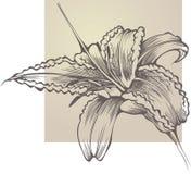 Hemerocallis de florescência da flor ilustração do vetor
