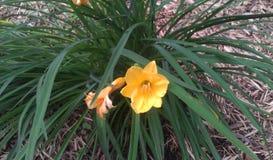Hemerocallis do amarelo da angra do paraíso Imagem de Stock