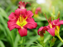 Hemerocallis Earlybird Cardinal Royalty Free Stock Images