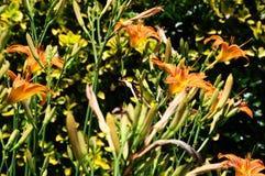 Hemerocallis för Daylily`-Mauna Loa ` Arkivfoton