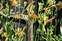 Hemerocallis för Daylily`-Mauna Loa ` Royaltyfria Bilder