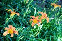 Hemerocallis för Daylily`-Mauna Loa ` Arkivfoto