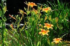 Hemerocallis för Daylily`-Mauna Loa ` Arkivbild