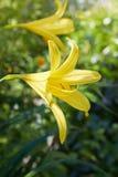 Hemerocallis flava auch bekannt als Zitronentaglilie, Zitronen-Lilie und Vanillepudding Lil lizenzfreie stockfotografie