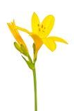 Hemerocallis flower Royalty Free Stock Photo