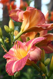 Hemerocallis flowers. Stock Photography