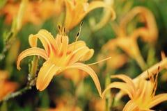 Hemerocallis Fulva/πορτοκαλιά αεροφωτογραφία λουλουδιών Daylily Στοκ Εικόνα