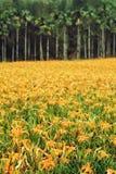 Hemerocallis Fulva/πορτοκαλιά λουλούδια Daylily Στοκ εικόνα με δικαίωμα ελεύθερης χρήσης