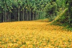 Hemerocallis Fulva/πορτοκαλιά λουλούδια Daylily Στοκ Εικόνες