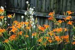 Hemerocallis fulva, Gelb-brauner oder Orange Daylily mit einem weißen Aplectrum hyemale, ein Adam und ein Eve oder eine Kittwurze Stockfoto