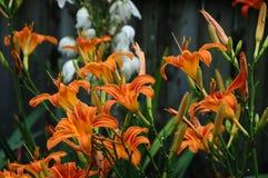 Hemerocallis fulva, Gelb-brauner oder Orange Daylily mit einem weißen Aplectrum hyemale, ein Adam und ein Eve oder eine Kittwurze Stockfotos