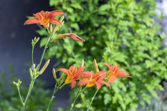 Hemerocallis fulva ornamental day lily flower in bloom, park ornamental flowering plant with orange flowers and buds. On green stem royalty free stock images