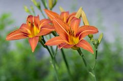 Hemerocallis fulva ornamental day lily flower in bloom, park ornamental flowering plant with orange flowers and buds. On green stem stock photos