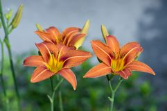 Hemerocallis fulva ornamental day lily flower in bloom, park ornamental flowering plant with orange flowers and buds. On green stem royalty free stock photography