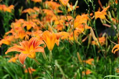 Hemerocallis fulva, tawny or orange daylily Royalty Free Stock Photography